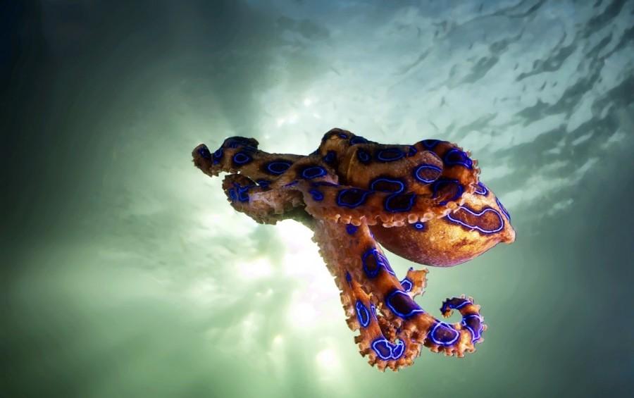 8. Синекольчатый осьминог Ежегодно от укуса синекольчатого осьминога погибает несколько человек. Свя