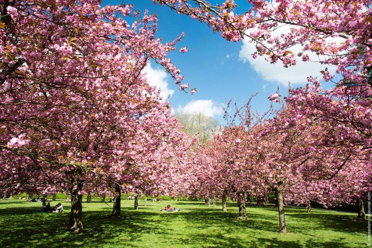 Цветение сакуры во Франции (35 фото)