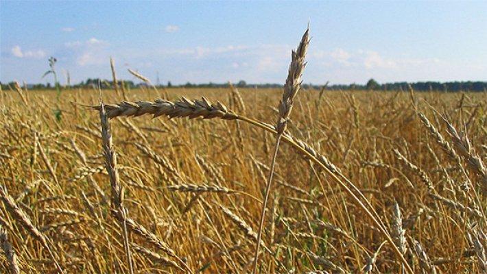 Украина израсходовала годовую квоту наэкспорт пшеницы в EC
