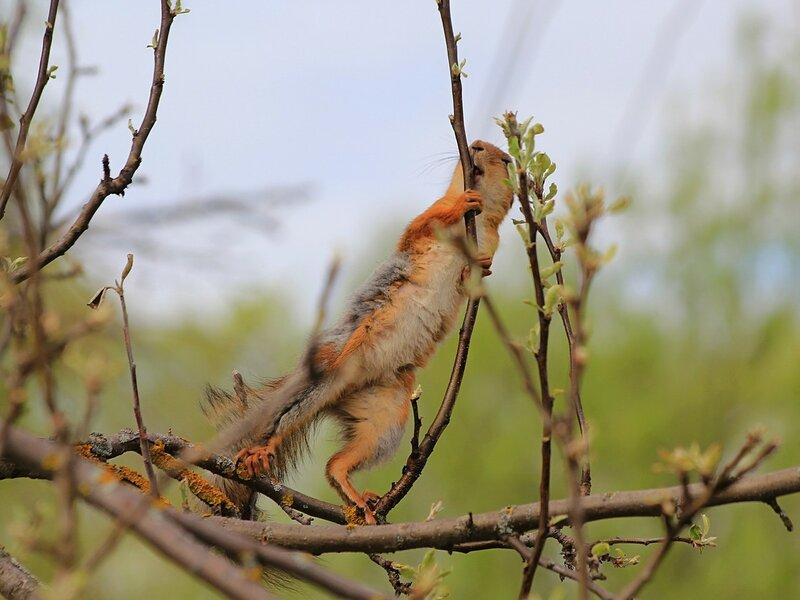 Акробатка - линяющая из серой зимней шубки на рыжую летнюю, белочка грызёт яблоневые почки
