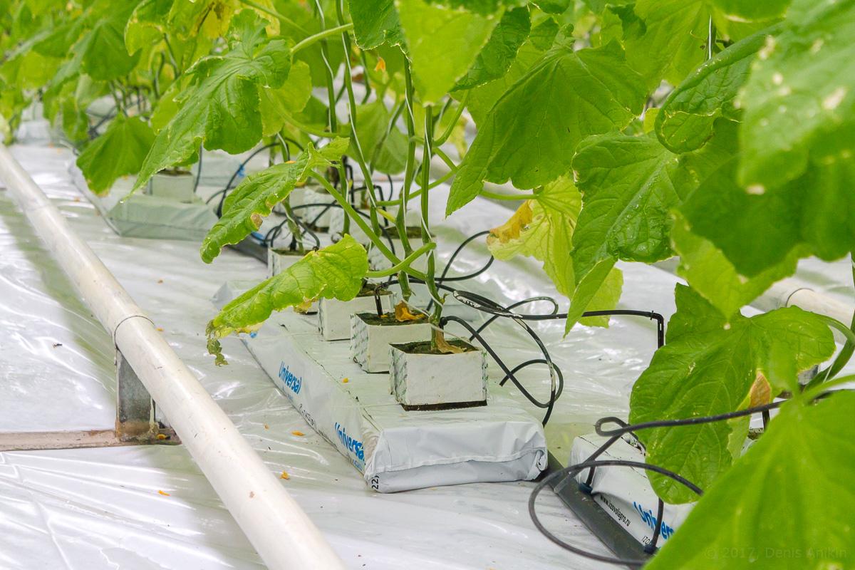 Агрокомплекс Волга выращивание огурцов фото 10