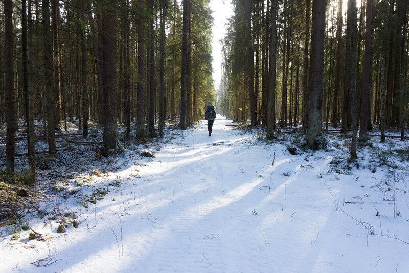 просека в еловом лесу у Семрино