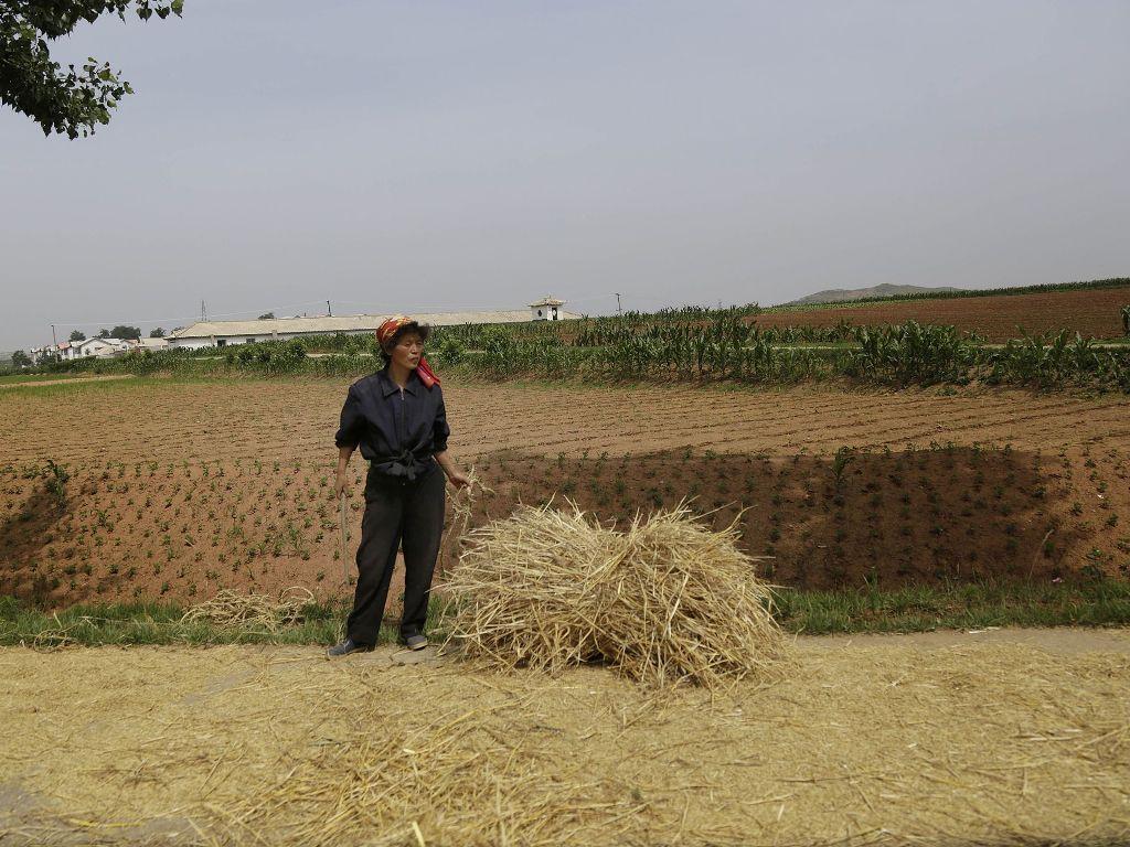 Фермер перед полем 24 июня 2015, в Южной Хванхэ, Северная Корея.JPG