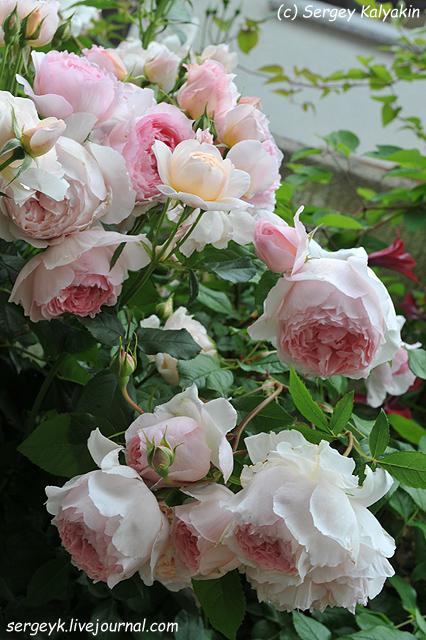 Rosa The Wedgwood Rose (3).JPG