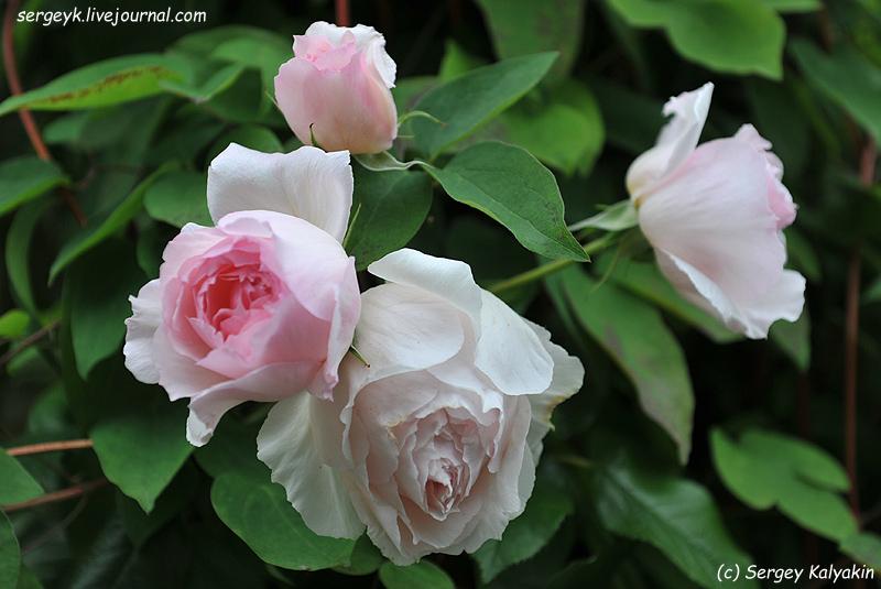 Rosa The Wedgwood Rose (11).JPG