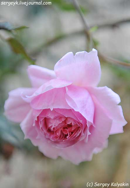 Rosa The Wedgwood Rose (18).JPG