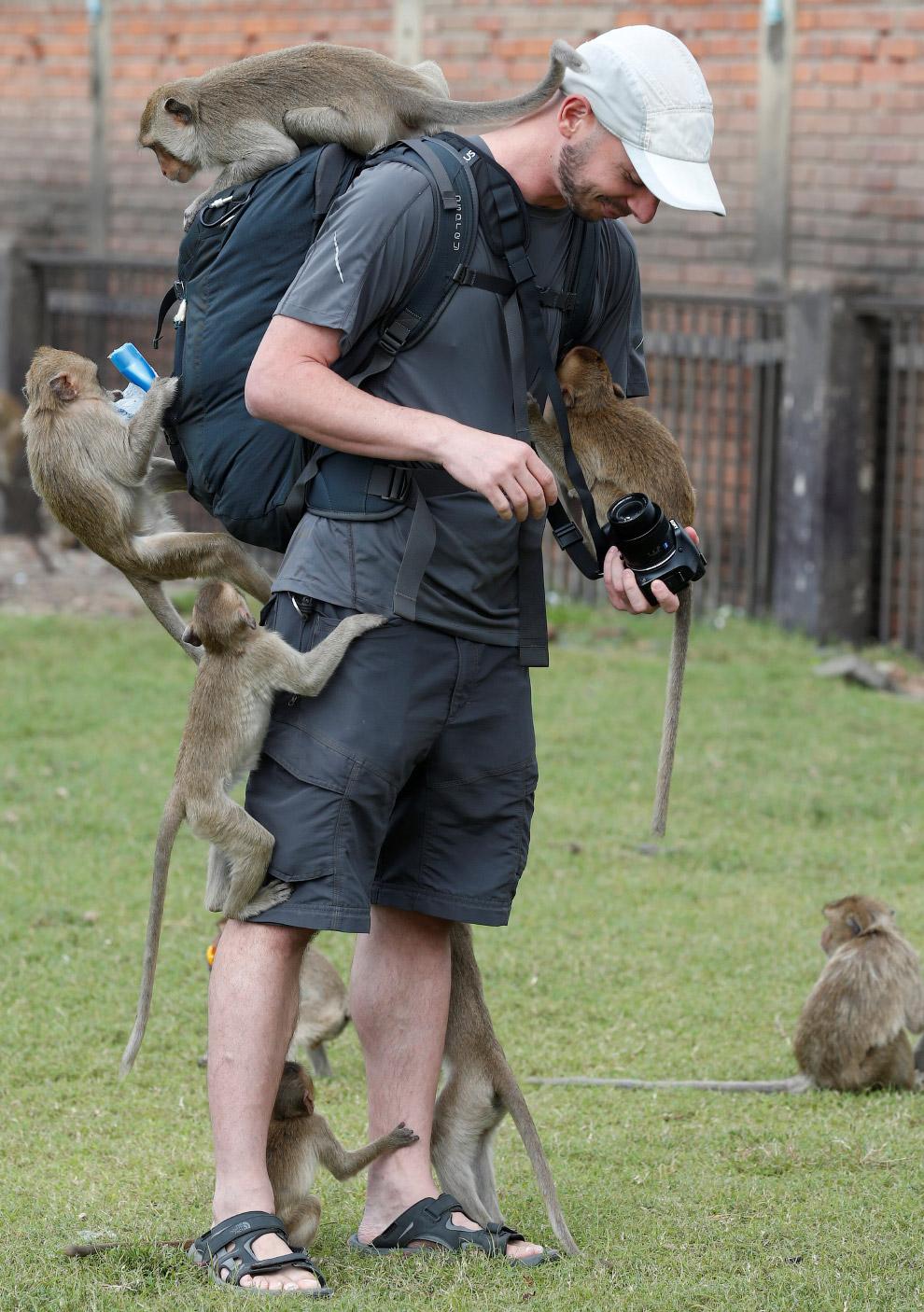 7. Сам фестиваль Monkey Buffet проходит для хвостатых воров в последнее воскресенья ноября начи