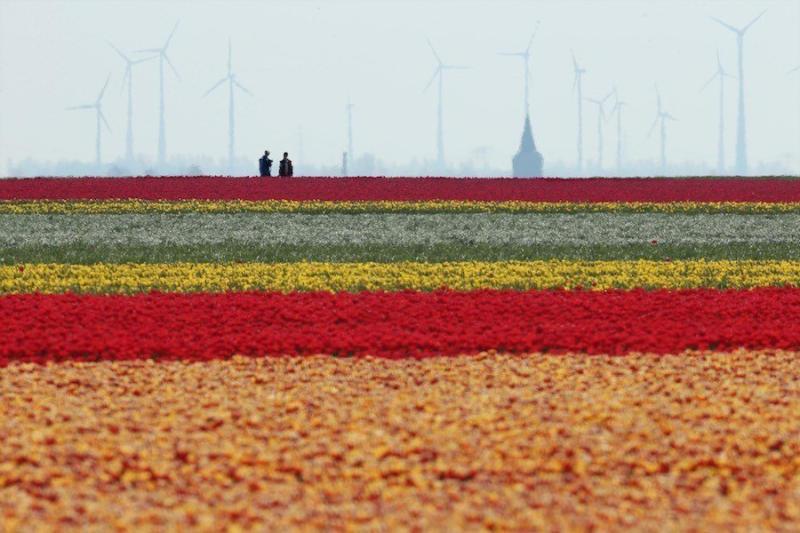 Wind turbines spin behind rows of tulips at the Degenhardt-Sellmann Spezialkulturen tulip fields as