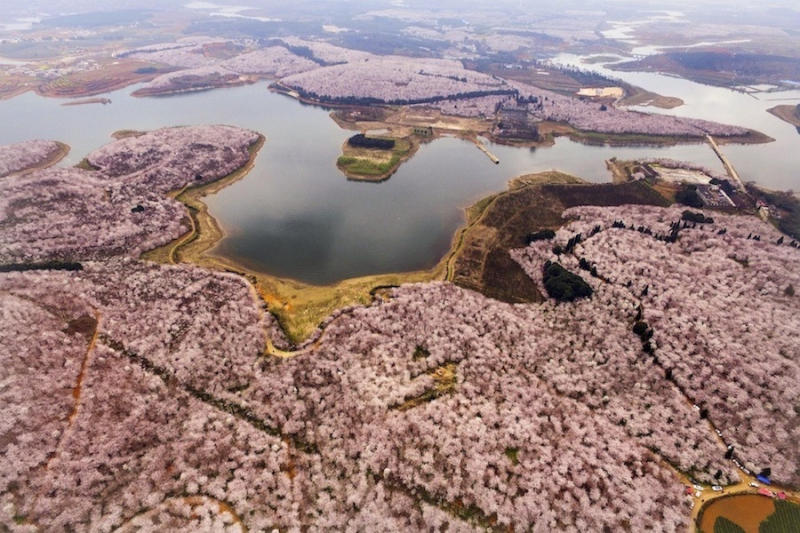 Aerial image shows cherry blossoms, magnolia flowers and rape flowers in Hongfeng Lake, Guizhou Prov