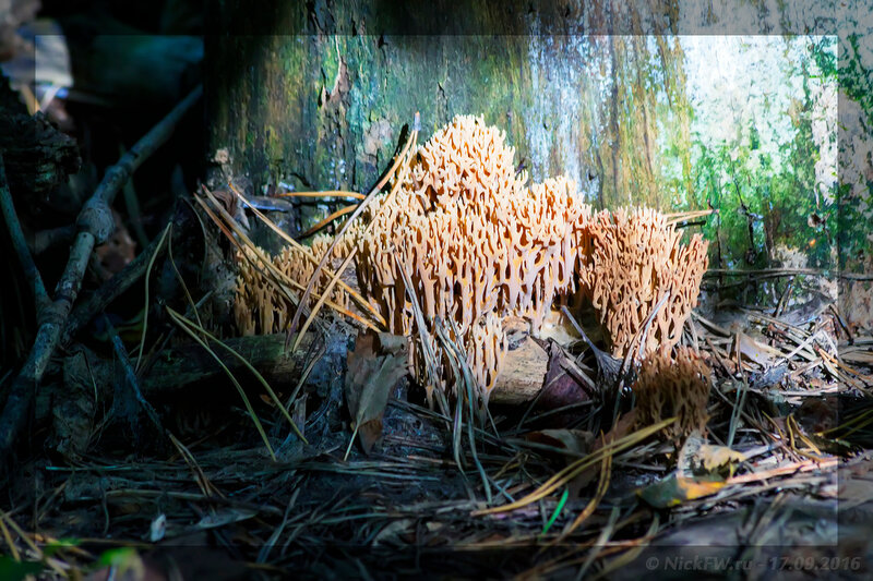 Гриб Оленьи рожки (© NickFW - 17.09.2016)