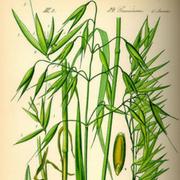 растение злак