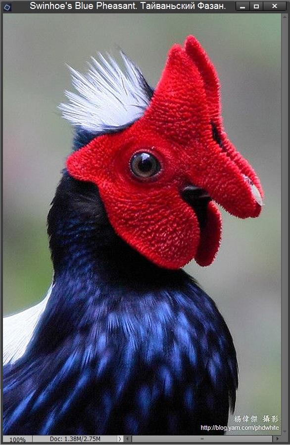 Тайваньский фазан