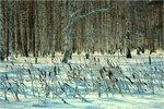 Зимний лес березовый...