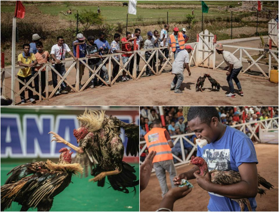 Жестокий спорт: петушиные бои на Мадагаскаре