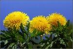 Одуванчиковые хризантемы..