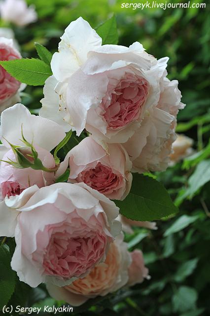 Rosa The Wedgwood Rose (4).JPG