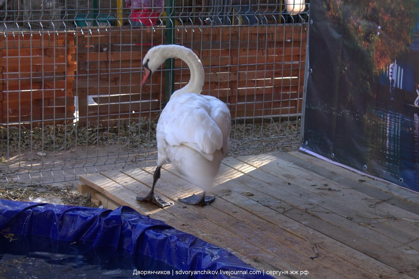 Лебедь и Вести - новоселье в Зоодворике - Парк ВГС - 23 ноября 2016