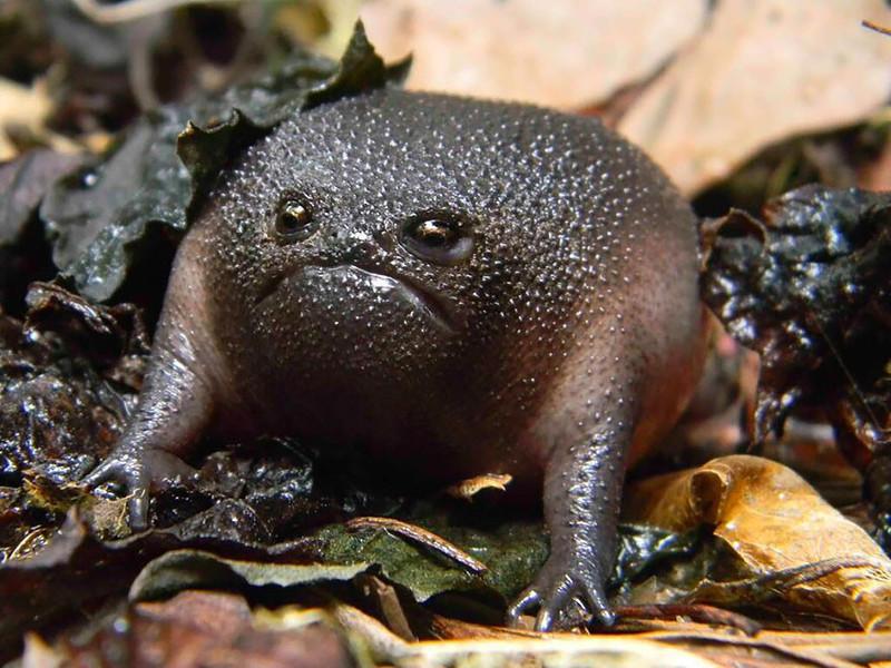 1. Черная дождевая лягушка
