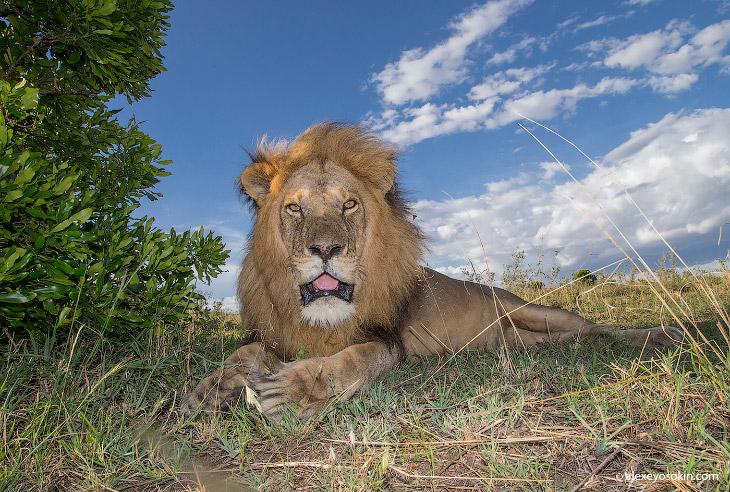 2. Еще каких-то 15 веков назад львы обитали на территории Европы. Увы, несмотря на то, что они были