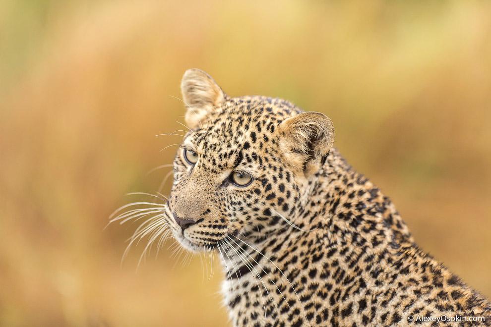 4. Леопард — единственная кошка, которая затаскивает свою добычу на дерево.