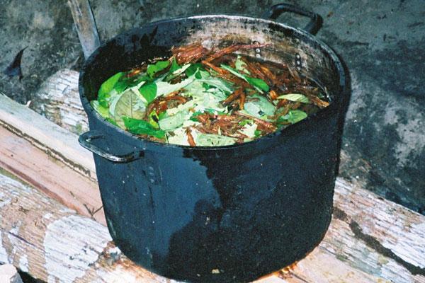 Впереводе сязыка кечуа слово «айяуаска» переводится как «лиана мёртвых»— это название бахчево