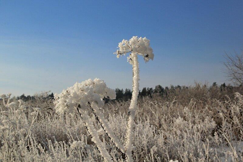 Покрытый толстым слоем ледяного инея сухостой около озера Жуково