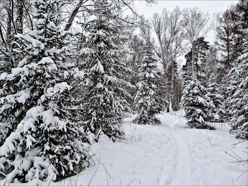 Еловые лапы в пушистом снегу