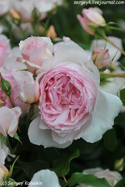Rosa The Wedgwood Rose (15).JPG