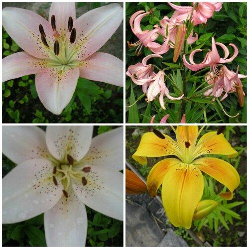 collage лилии 3.jpg