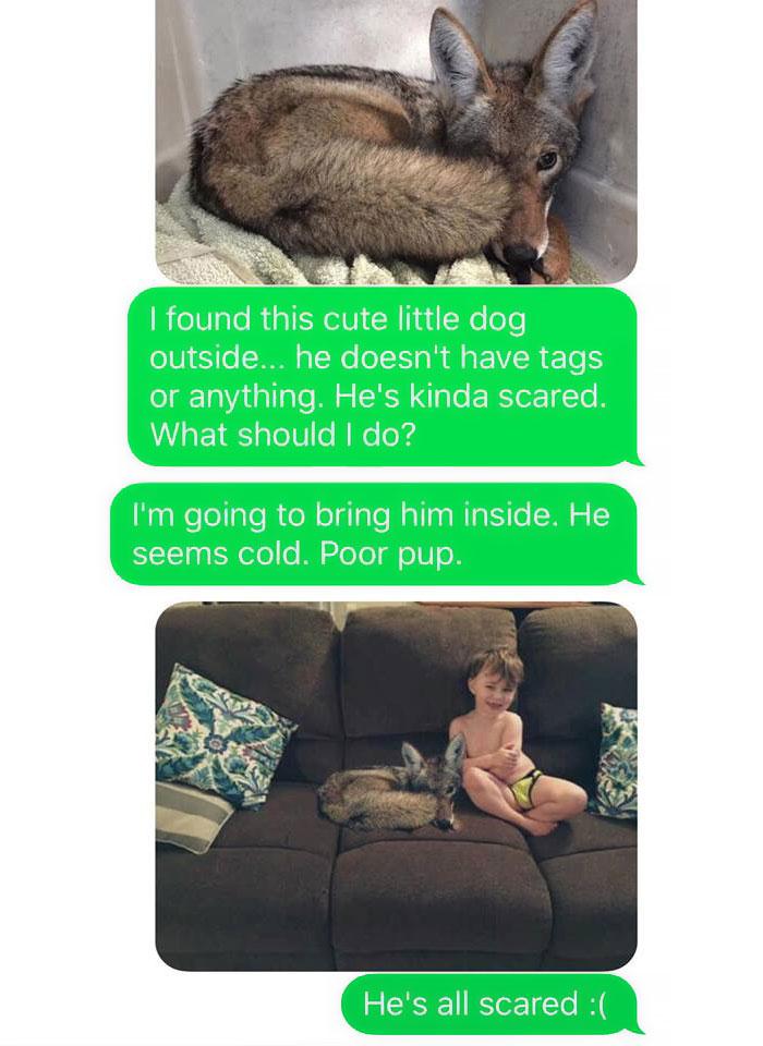 Жена притащила койота домой и спросила у мужа, можно ли его оставить (12 фото)