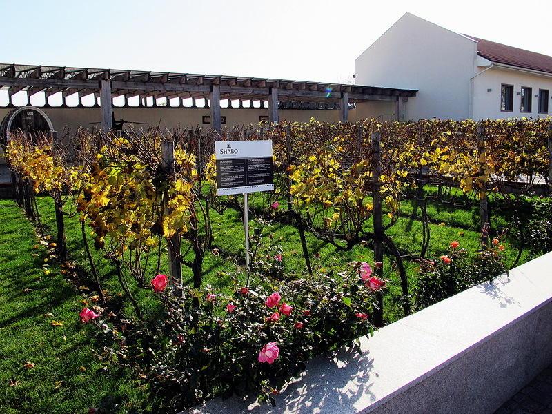 17. Территория виноградников для шабских вин около 1000 гектаров, это более 3 млн. виноградных лоз и