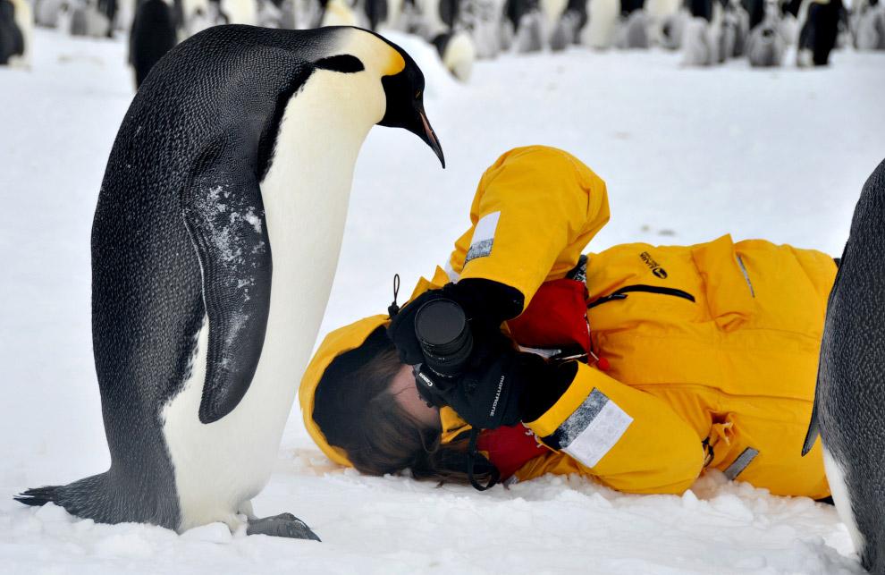 3. Императорский пингвин и птенец. Пингвины — семейство нелетающих морских птиц, обитающих в от