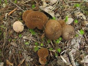 Дождевик шиповатый (Lycoperdon perlatum)