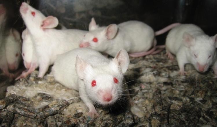 Ученые научились превращать мышей в враждебных зомби-убийц