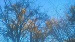 Омела зимняя
