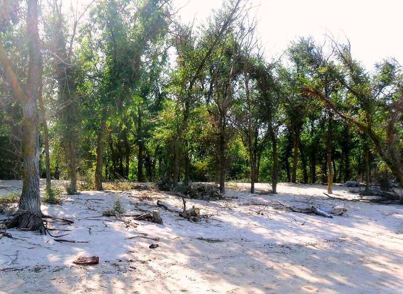Деревья... Песок ... SAM_3339.JPG