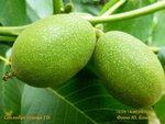 Соплодие сеянца грецкого ореха
