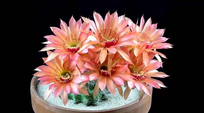 Потрясающее зрелище: цветущие кактусы