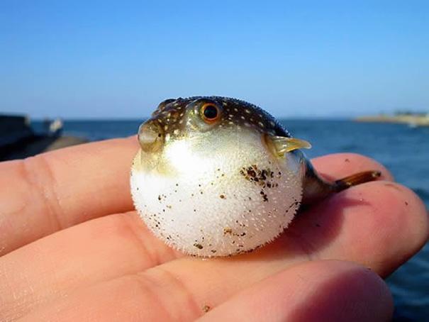 7. Иглобрюхая рыбка