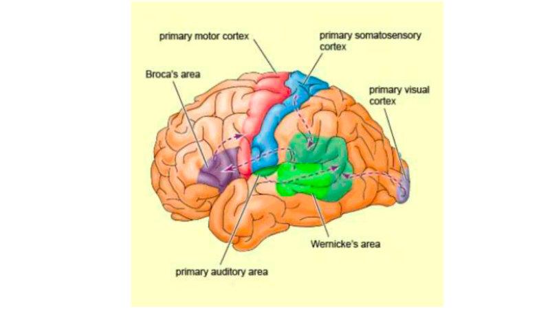 Потеря речи во взрослом состоянии может быть связанна с тремя основными причинами: 1. Инсуль