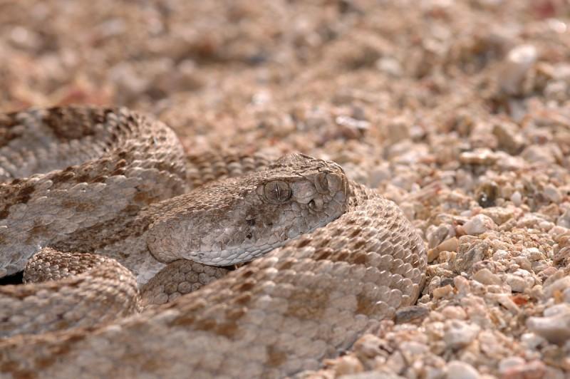 Змея техасский гремучник.
