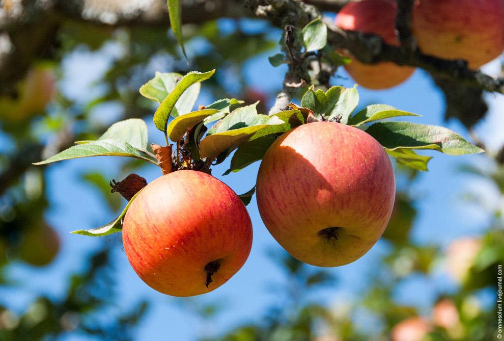 Я в первый раз гулял по яблоневому саду, и надо сказать, что впечатления от такой прогулки оста