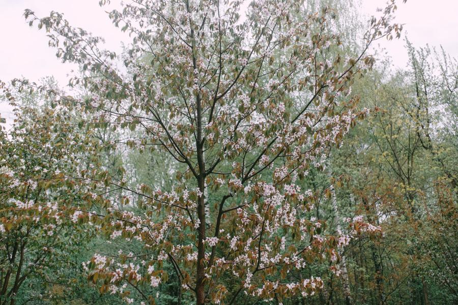 Цветущая розовая сакура в Москве