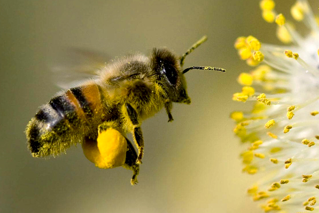 amazing-bee-wallpaper-1680x1050.jpg