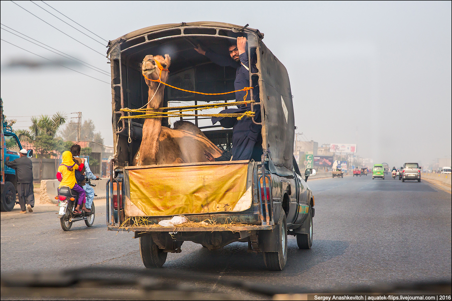 Life hacking from Pakistan travelers. About camel