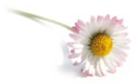 DaisyFlower_byQuerida020610.png