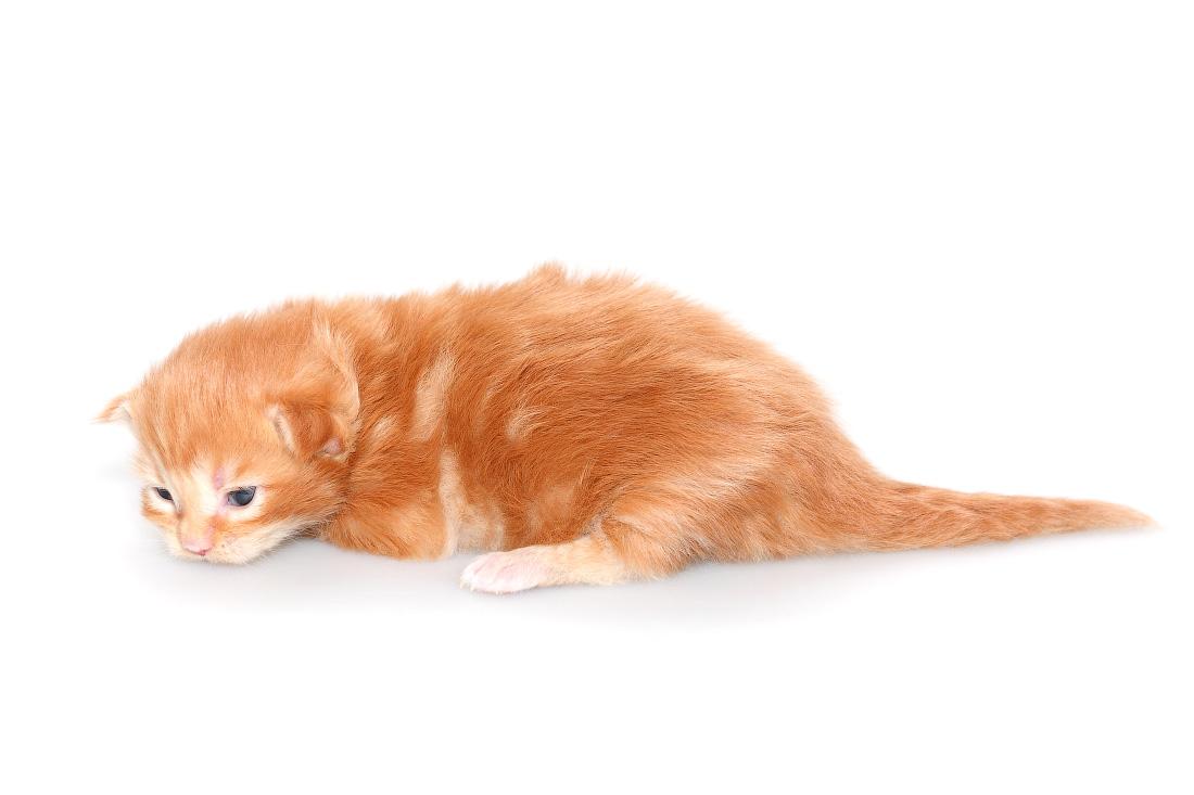 двухнедельный котенок мейнкун
