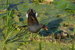 Камышница (Gallinula chloropus)