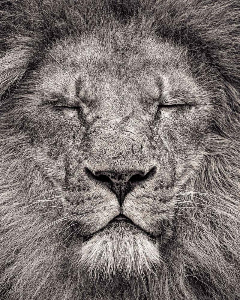 8. Пума или горный лев. (Фото Paul Coghlin):
