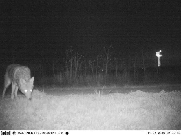 Затем камерой заинтересовался койот.